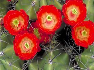 Postal: Cactus con varias flores rojas