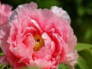 Postal: Peonia de un bonito color rosa