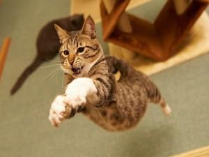 Gato pegando un salto
