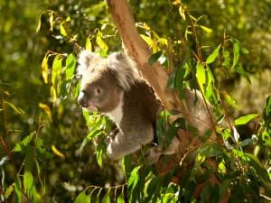 Un koala sobre un eucalipto
