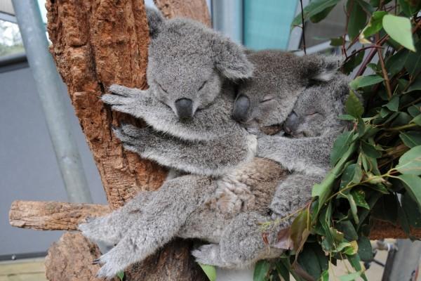 Tres koalas dormidos