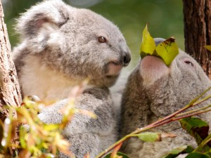Postal: Un koala viendo como come otro koala