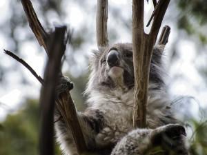 Un koala pensativo
