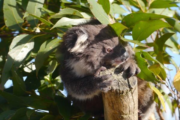 Un koala bajo las hojas