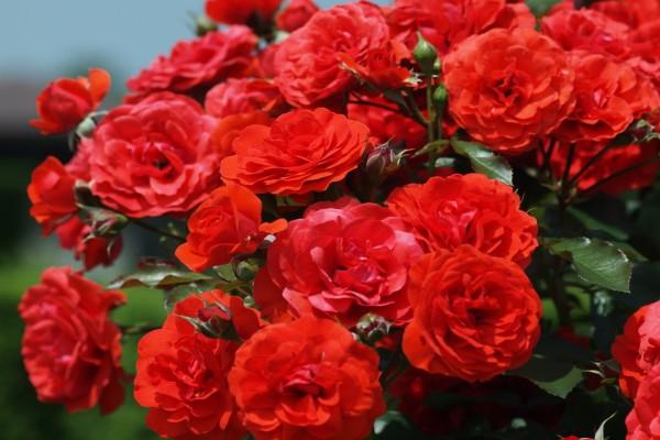 Pequeñas rosas rojas en un rosal