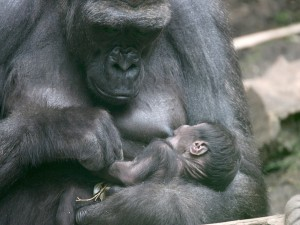 Postal: Gorila dando de mamar a su bebé