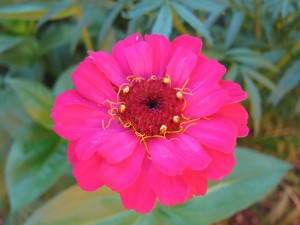 Hermosa zinnia color fucsia