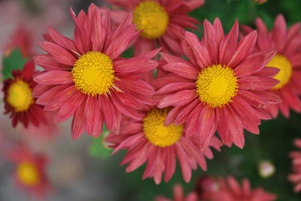 Unos bonitos crisantemos