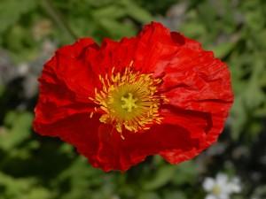 Postal: Una linda amapola roja