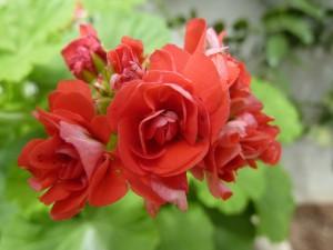 Postal: Florecillas rojas en una planta