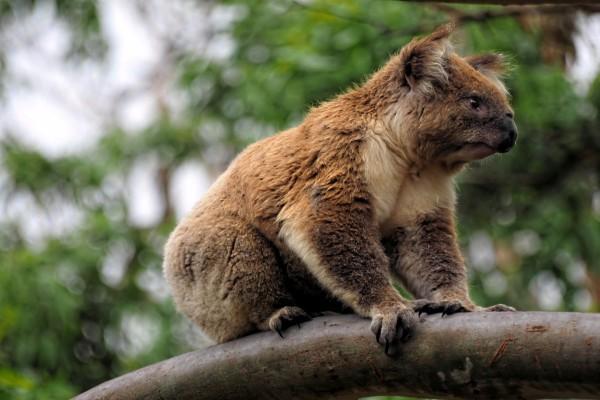 Un koala quieto sobre una rama