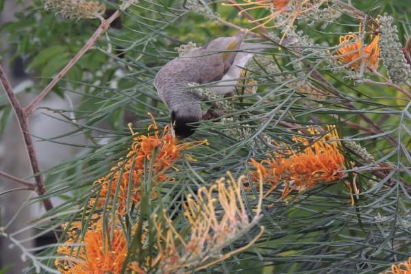 Pájaro con el pico en una flor naranja