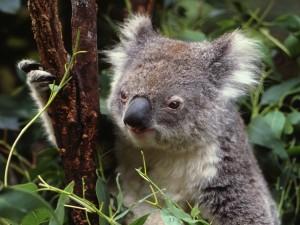 Koala trepando por una rama