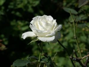 Flor de rosa blanca en la planta