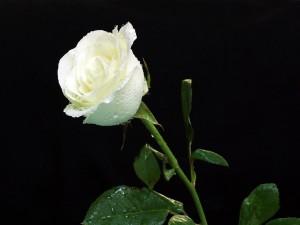 Bella rosa blanca cubierta de gotas de agua