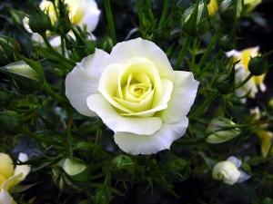 Espléndida rosa blanca entre varios pimpollos