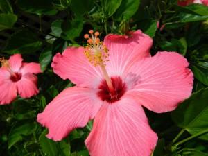 Dos hermosas flores de hibisco de color rosa