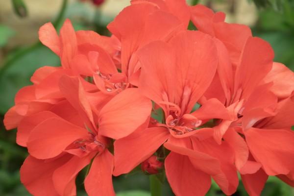 Lindas flores de geranio