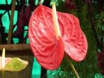 Un anthurium rojo