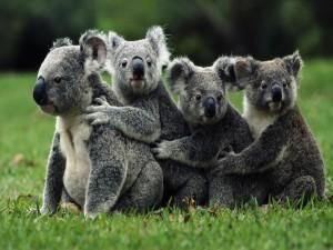 Cuatro koalas sobre la hierba