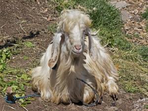 Postal: Oveja con grandes orejas