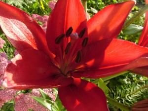 Postal: Gran lilium rojo en un jardín