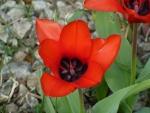 El interior de un tulipán rojo