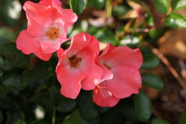 Tres rosas de color rosa