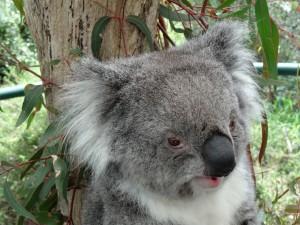 La cara de un gran koala