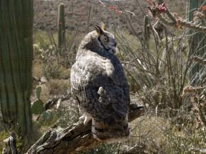Postal: Gran búho entre cactus