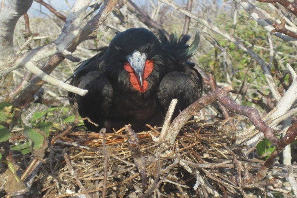 Ave negra incubando en su nido