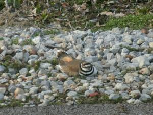 Postal: Ave quieta sobre las piedras