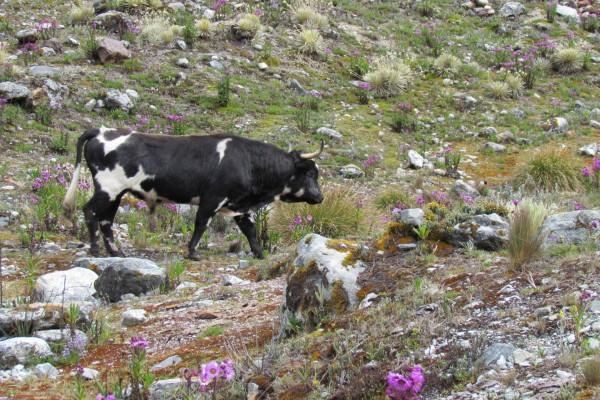 Vaca en un campo con bellas flores