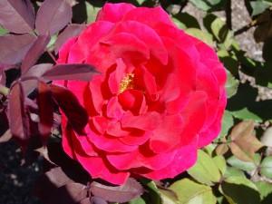 Gran rosa fucsia en un rosal
