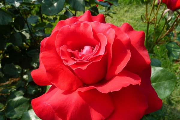 Rosa roja en todo su esplendor