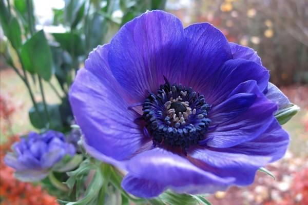 Flor en la planta con pétalos color púrpura