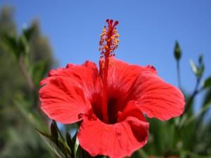 Postal: Hibisco rojo bajo el cielo azul