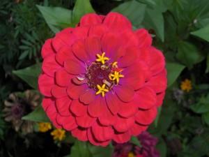Postal: La belleza de una zinnia