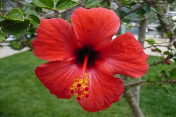 Un bello hibisco