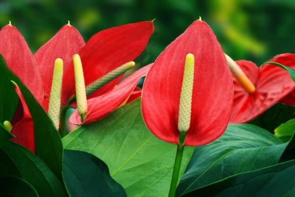 Una preciosa planta con anthuriums rojos