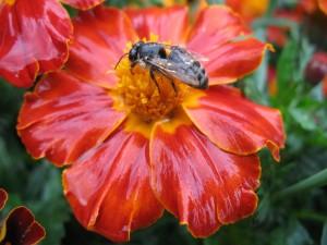 Postal: Abeja sobre una flor de pétalos húmedos