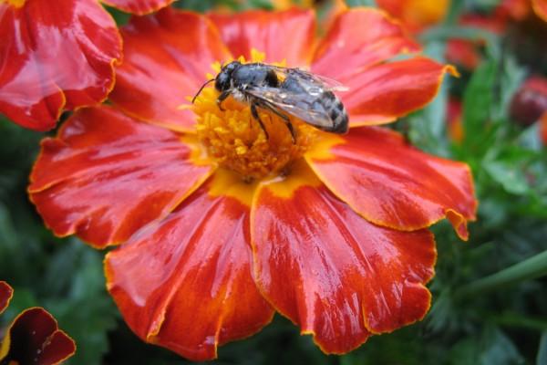 Abeja sobre una flor de pétalos húmedos