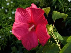 Postal: Gran hibisco rosa en la planta