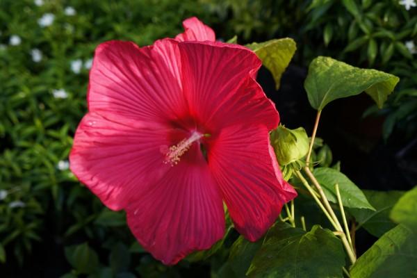 Gran hibisco rosa en la planta