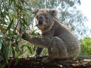 Koala sobre un eucalipto comiendo hojas