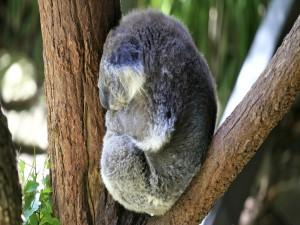 Koala dormido sobre un árbol