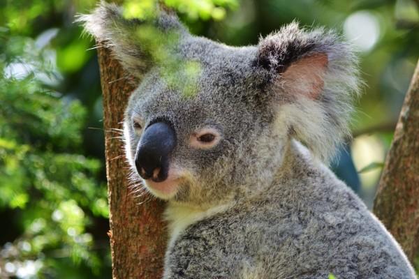Bonito koala entre las ramas de un árbol