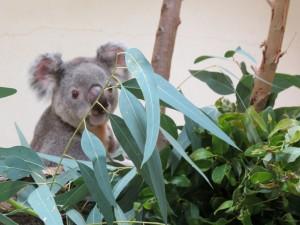 Koala mirando las apetitosas hojas de eucalipto