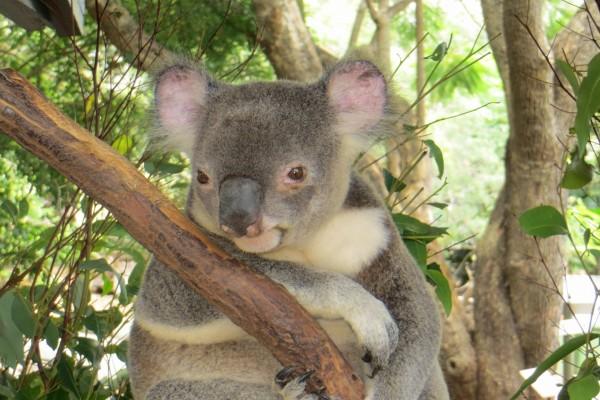 Un lindo koala