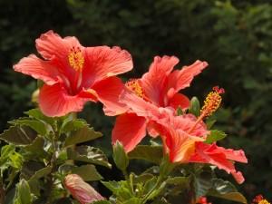 Varias flores de hibisco en la planta